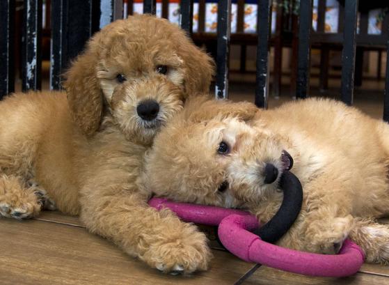 영국에서 강아지 품귀 현상이 나타나고 있다고 이코노미스트가 보도했다. 찾는 사람이 늘면서 가격도 급등세다. [AP=연합뉴스]