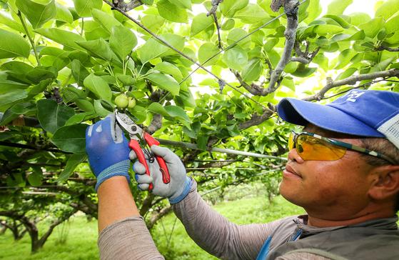 지난 3일 전남 나주시 다시면 배 과수원에서 농민이 냉해를 입은 열매를 자르고 있다. 나주-프리랜서 장정필