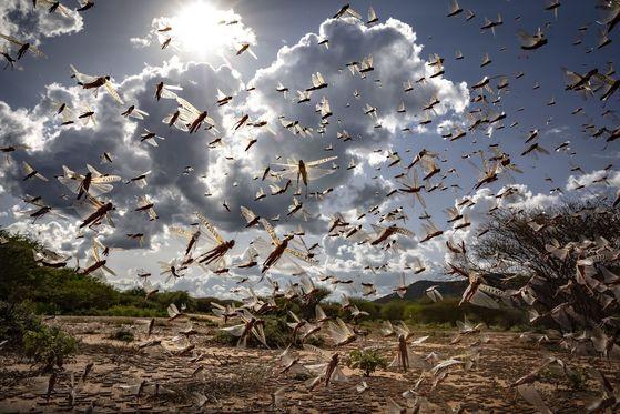 케냐를 비롯한 아프리카 동부는 코로나19 확산뿐 아니라 대규모 사막 메뚜기떼 습격에 이중고를 겪고 있다. [AP=연합뉴스]