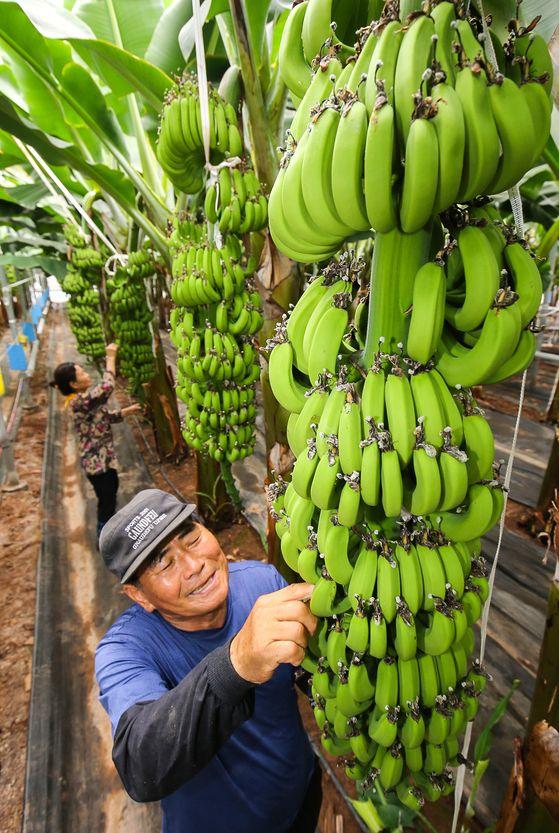 지난 11일 전남 해남군 북평면의 바나나 비닐하우스에서 농민 신용균씨가 7월 출하를 앞둔 바나나 생육상태를 살피고 있다. 해남-프리랜서 장정필