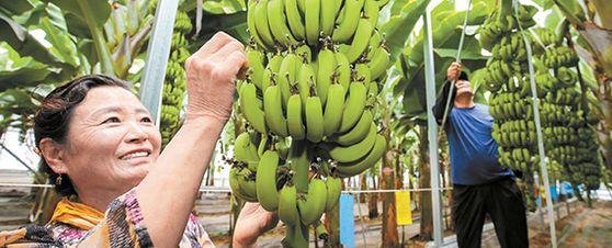 신용균씨(오른쪽) 부부가 지난 11일 전남 해남군 자신의 바나나 비닐하우스에서 7월 출하를 앞둔 바나나 상태를 살피고 있다. 프리랜서 장정필
