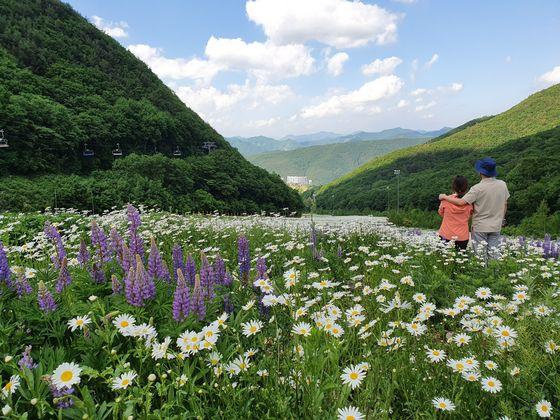 지금 강원도 정선 하이원리조트는 꽃 천지다. 지난 11일 샤스타데이지꽃이 가장 많이 핀 제우스3 슬로프에서 촬영했다.