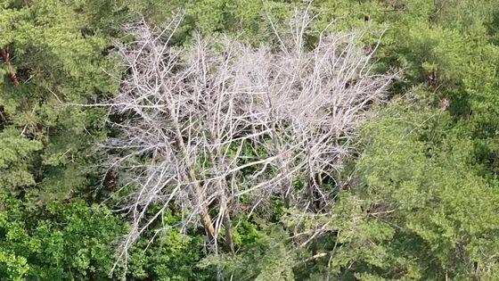 금강소나무가 고사하면서 잎이 전부 떨어지고 가지가 하얗게 변했다. 녹색연합 제공