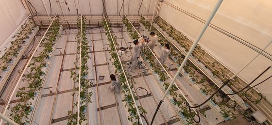 제2회 세계농업AI대회 본선에 진출한 한국의 '디지로그팀' 팀원들이 지난해 말 네덜란드 현지 유리온실에서 센서와 카메라 등을 설치하고 있다. 팀원들은 6개월 동안 한국에서 AI의 도움을 받아 원격 재배 방식으로 방울토마토를 키웠다. [사진 디지로그팀]