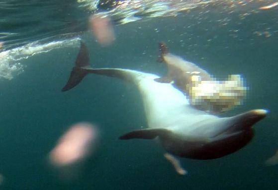 국립수산과학원은 지난 11일 제주시 구좌읍 연안에서 남방큰돌고래 생태를 관찰하던 중 어미 돌고래가 죽은 새끼를 등에 업고 다니는 안타까운 모습을 포착했다고 26일 밝혔다. [사진 국립수산과학원]