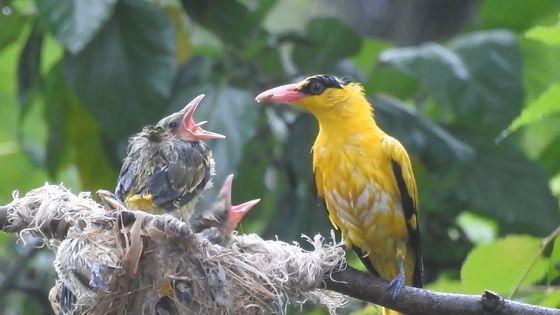 지난 24일 오후 빗 속에서 꾀꼬리 새끼들이 어미로부터 먹이를 받아 먹고 있다. 연천지역사랑실천연대