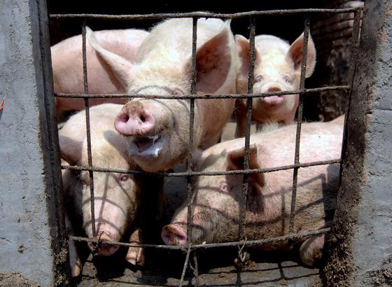 중국 동부 칭다오시 농촌지역의 농장에서 사육하는 돼지들. [EPA=연합뉴스]