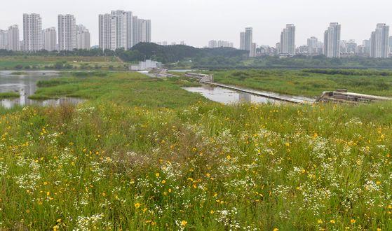 세종보 개방이후 물이 고이지 않는 금강이 잡초밭으로 변했다. 프리랜서 김성태