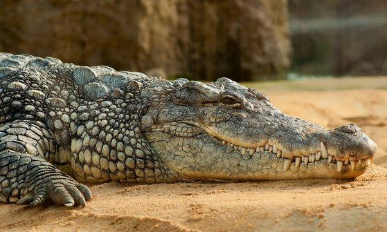크로커다일은 주둥이 선이 V자형이고 아래턱의 이빨이 윗니 바깥쪽으로 뻗어 아랫니와 윗니를 다 볼 수 있다. [사진 Pixabay]