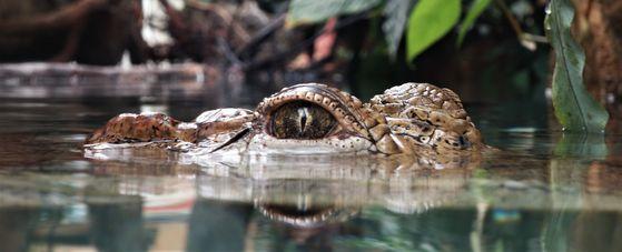 눈 코 귀는 머리 위쪽에 있어 이들만 내놓고 몸체를 물속에 장시간 숨길 수 있다. [사진 Pixabay]