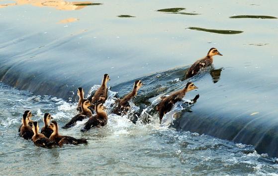 2018년 여름 경기 성남시 분당구의 한 탄천에서 어미 청둥오리가 새끼들을 이끌고 물살이 센 수중보를 기어오르는 시범을 보이고 있다. [뉴시스]