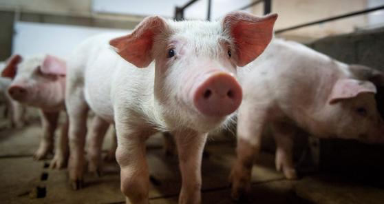 돼지 피부에서 코로나바이러스가 최장 2주간 생존할 수 있다는 연구 결과가 나왔다. [AFP=연합뉴스]
