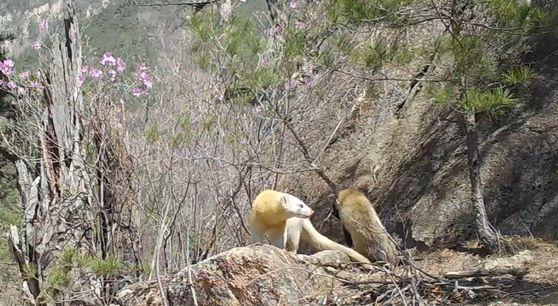 지난 4월 설악산 한계령 인근에서 무인센서카메라에 포착된 알비노 담비. 함께 다니는 동료 담비와 같이 찍혔다. 2018년 설악산 한계령 인근에서 포착된 알비노 담비와 같은 개체로 추정된다. 국립공원공단