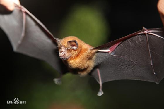 중국에 서식하는 중화국두복 박쥐는 사스 바이러스에 이어 이번 신종 코로나바이러스의 자연 숙주로 여겨지고 있다. [중국 바이두 캡처]