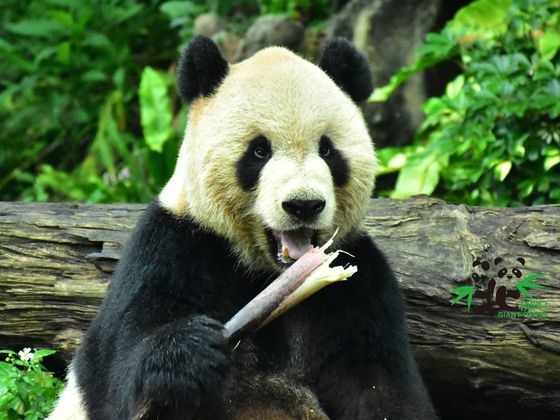 대만 타이페이 동물원의 판다 위안위안. 타이베이 동물원