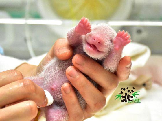 대만 타이베이 동물원에서 태어난 새끼 판다. 타이베이 동물원