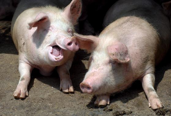 중국 동부 산둥성 칭다오시 농촌지역 돼지농장에서 사육중인 돼지들. [EPA=연합뉴스]