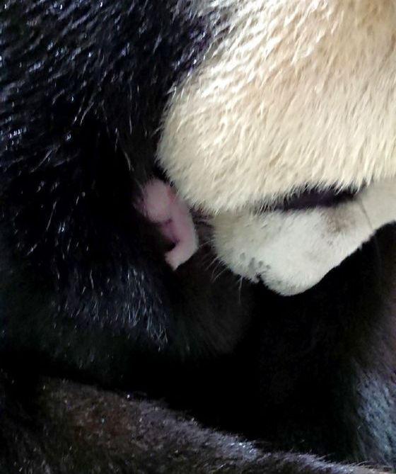 어미 판다가 갓 태어난 새끼를 안고 있는 모습. 타이베이 동물원