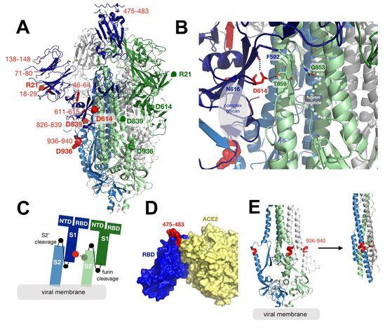 코로나19 바이러스 변이 D614G. 그림 A와 B에서 붉게 표시된 D614가 돌연변이가 발생한 곳이다.