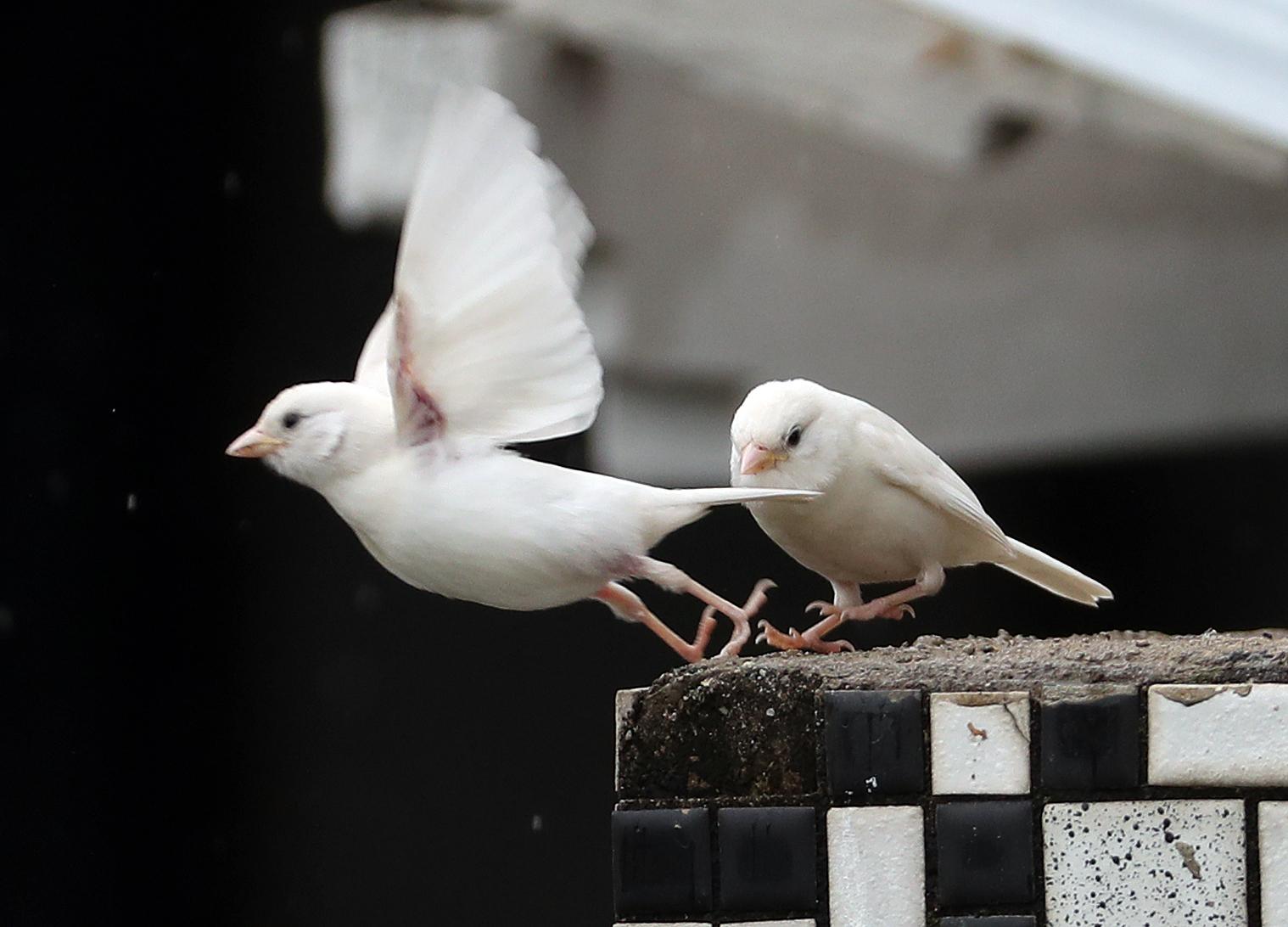 좋은 소식은 전하는 길조로 알려진 흰 참새가 13일 강원도 춘천의 한 주택가에 나타나 화제다. [연합뉴스]