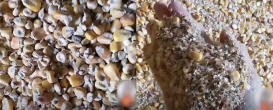 곰팡이 범벅에 잿빛 먼지…中 국영기업 옥수수 창고 충격