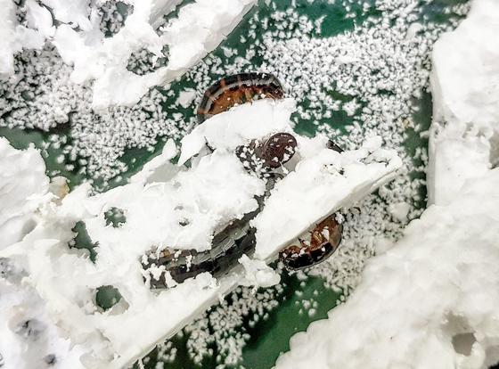 스티로폼을 먹고 있는 거저리 유충. [사진 포스텍]