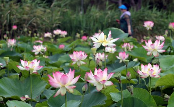 만개한 연꽃