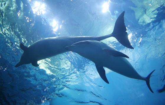 울산시 남구 장생포 고래생태체험관에서 돌고래 '고장수'(오른쪽)가 어미인 '장꽃분'과 함께 유영하고 있다. 고장수는 고아롱의 새끼로 2017년 6월 고래생태체험관 수족관에서 태어났다. [연합뉴스]