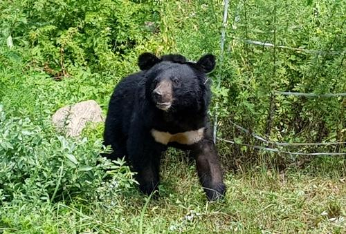 충북 영동에 모습을 드러내 관심을 끌었던 반달가슴곰 '오삼이'(공식 명칭 KM-53)가 다시 수도산으로 돌아갔다.   [연합뉴스]