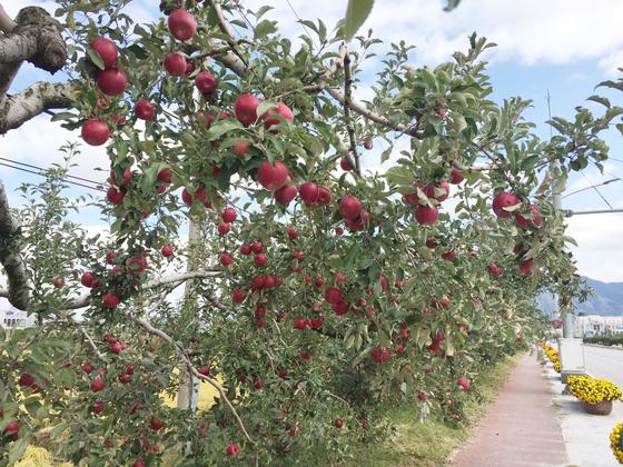지금과 같은 정도로 탄소배출을 계속한다면, 기후변화로 인해 2100년 우리나라에서는 사과나무가 자라지 못할 것이라는 예측이 나왔다. 환경부와 기상청은 28일 '한국 기후변화 평가보고서 2020'을 펴냈다. 연합뉴스