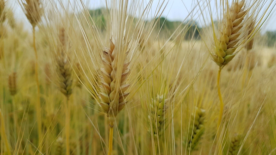 보리는 쌀, 밀, 옥수수, 콩과 함께 5대 식량 작물이다. 전 세계적으로 보리의 사용량을 보면 맥주 재료로 사용되는 양이 동물 사료용에 이어 두 번째로 많다. [사진 pixabay]