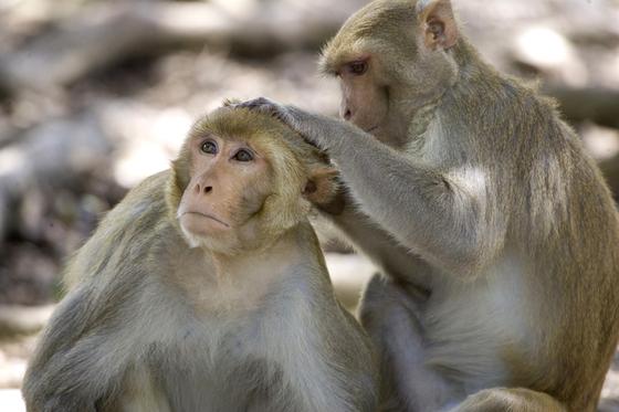 레서스 원숭이. [AP=연합뉴스]