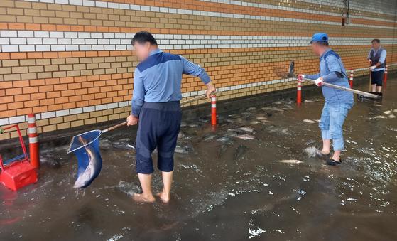 한강사업본부 직원들이 7일 오후 폭우로 서울 여의도 한강 둔치 인근 지하차도까지 떠내려온 물고기를 한강에 방류하기 위해 애쓰고 있다. 뉴스1