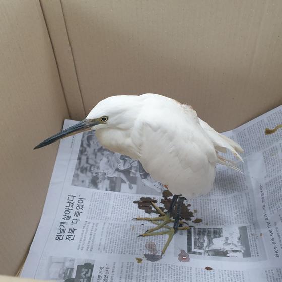 한강 침수지역 복구작업 중 한강변에서 날개를 다친 백로가 발견돼 서울대학교 동물병원 서울시야생동물센터로 옮겨졌다. [사진 서울시]