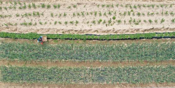 지난 5월 강원 춘천시 한 밭에서 농민이 농작물을 돌보며 바쁜 일손을 놀리고 있다. 연합뉴스