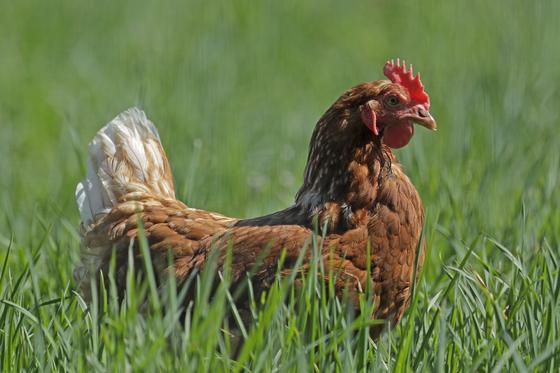 닭 이미지 사진. 연합뉴스