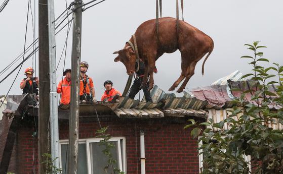10일 전남 구례군 구례읍의 한 마을에서 소방대원들이 축사 지붕에 올라갔던 소를 크레인을 이용해 구조하고 있다. 집중호우와 하천 범람으로 물이 차오르면서 떠올라 지붕으로 피신했던 일부 소들은 건물 지붕이 붕괴되며 떨어졌다. 뉴스1