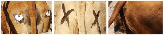 실험 대상 소를 세 부류로 나눠 한쪽엔 눈을, 한쪽엔 엑스(X)표시를, 나머지 한쪽엔 아무것도 그려넣지 않았다. [사진 Communications Biology]