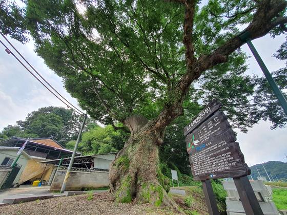 충북 영동군 학산면 박계리에 있는 독립군 나무. 최종권 기자
