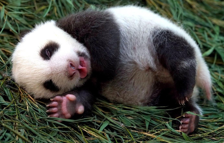 대만 타이베이 동물원에서 태어난 새끼 판다의 최근 모습. 타이베이 동물원