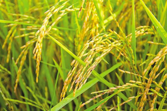 지난 2015년부터 지정된 '쌀의 날'은 쌀의 가치를 알리고 소비촉진을 위한 행사로 올해 6회째를 맞았다. 아래 사진은 어린이 직업체험 테마파크 키자니아 서울에서 진행하고 있는 '쌀 그림 그리기 이벤트'에 참가한 학생들. [사진 농림축산식품부]