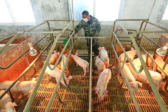 2 월 21 일 중국 쓰촨성 쑤 이닝시에있는 양돈장에서 마스크를 쓰고있는 노동자가 돼지에게 먹이를주고있다. 중국의 돼지 고기 가격은 지난해 아프리카 돼지 열병에 이어 올해 초 코로나 19로 치솟았다. 중국 정부는 시장 안정화를 위해 양돈 사업을 장려하고있다. [EPA=연합뉴스]