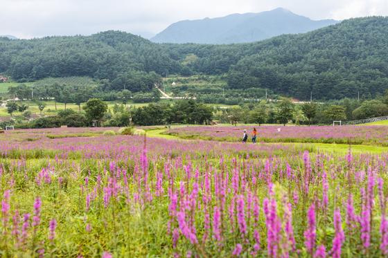 국립 백두대간수목원은 아시아 최대 규모 수목원으로 33개 전시원을 갖췄다. 야생화언덕에 만발한 털부처꽃이 장관을 이루고 있다. 최승표 기자