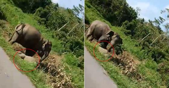말레이시아의 한 도로에서 새끼 코끼리가 교통사고로 바닥에 쓰러지자 어미 코끼리가 흔들어 깨우고 있다. [Info Roadblock JPJ/POLIS 페이스북 캡처]