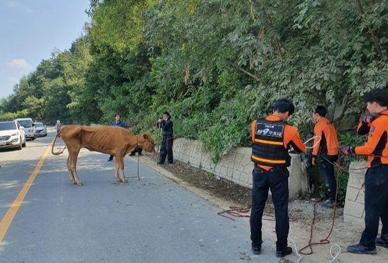 전남 담양소방서 소방관들이 집중호우 때 사라졌던 소를 구조하고 있다. 사진 담양소방서