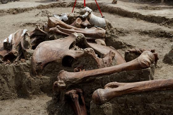 멕시코 신공항 건설 현장에서 발굴 된 맘모스의 뼈. [EPA=연합뉴스]