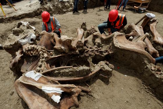 고생물학 자들이 멕시코 신공항 건설 현장에서 발굴 된 맘모스 뼈의 저장 작업을하고있다. [EPA=연합뉴스]
