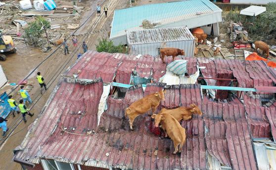 폭우로 지붕 위에 올라간 소들. 연합뉴스