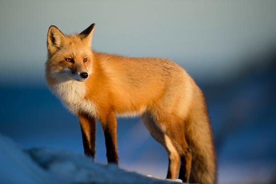 붉은여우는 북반구의 대륙에 널리 분포하고 개체 수도 많아 여우를 대표하는 종이다. 깊은 삼림 지역부터 북극 지역의 툰드라, 평원, 민가와 경작지 주변 등 넓은 분포영역을 가진다. [사진 pxhere]