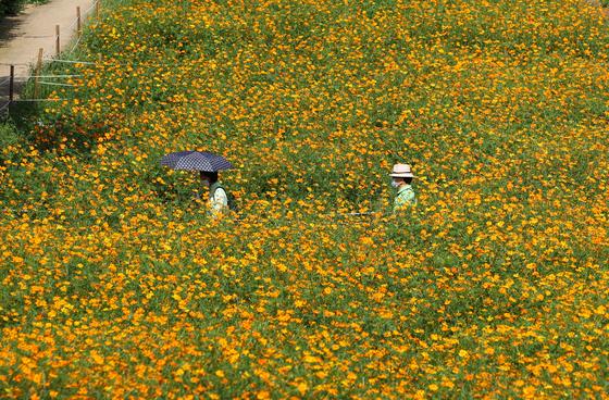 11일 서울 송파구 올림픽공원 들꽃마루에 노랑 코스모스가 피어있다. 연합뉴스